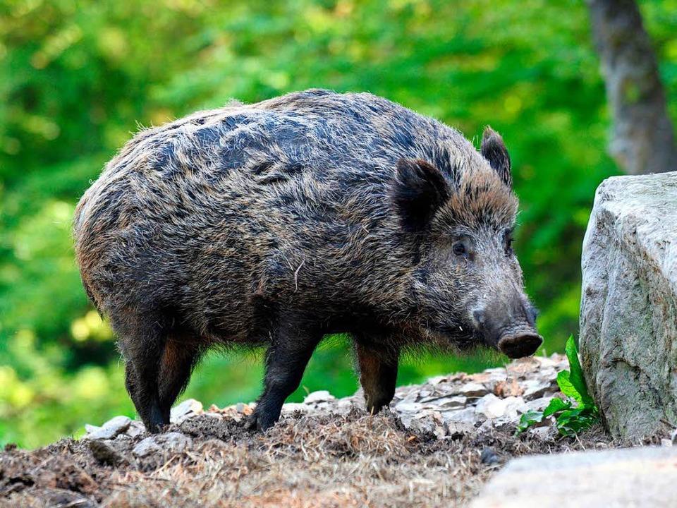 Zu dem Unfall mit einem Wildschwein kam es am Samstag bei Sexau. (Symbolbild)  | Foto: dpa