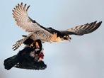 Falken im Anflug