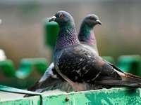 Was müssen Vermieter gegen Taubendreck unternehmen?