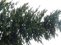 Übergroßer Christbaum löst Polizeieinsatz in Kandern aus