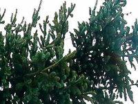Polizei stoppt Transport von übergroßem Christbaum