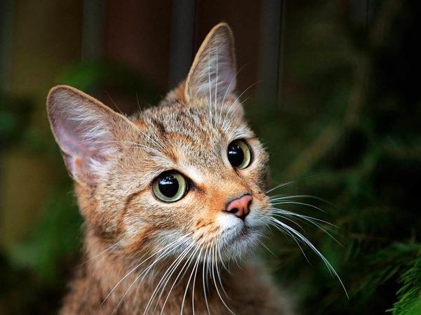 Wildkatzen brauchen Lebensräume, die miteinander vernetzt sind, damit sie wandern können und durch Fortpflanzung ihre Gene austauschen. Das ist auch wichtig, damit sich die Arten etwa an Klimaveränderungen anpassen.