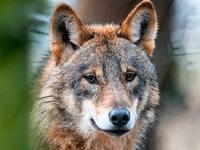 Schäfer und Landwirte wehren sich gegen Wolfsrückkehr