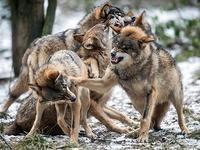 Landwirte und Schäfer wehren sich gegen Wolfsrückkehr