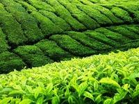 Medizin, die schmeckt: So gesund ist Tee wirklich
