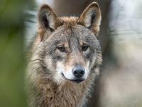 Getöteter Schluchseewolf: Polizei überprüft Waffen