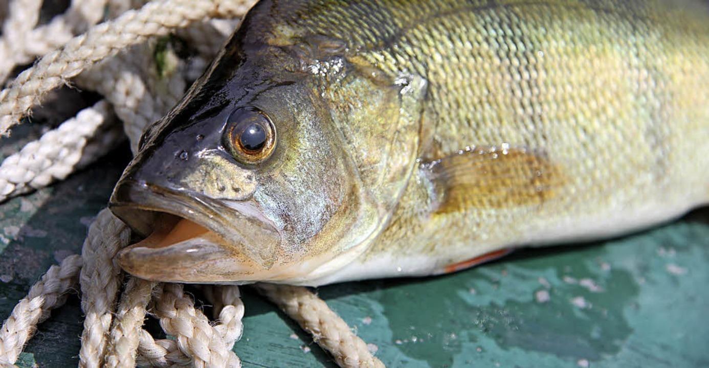 Diese Flussbarsche will Migros bei Basel züchten.   | Foto: Stock.Adobe.com