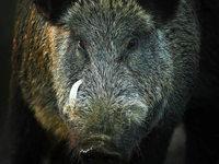 Jäger durch Wildschwein tödlich verletzt