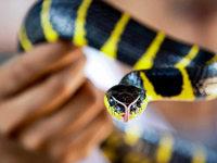 Thailand leidet unter einer extremen Schlangenplage