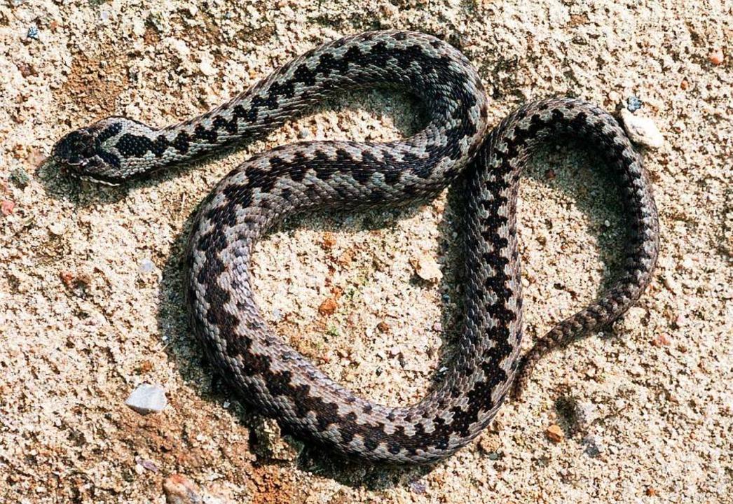 Ein von nur zwei giftigen Schlangenarten in Deutschland: die Kreuzotter.  | Foto: dpa