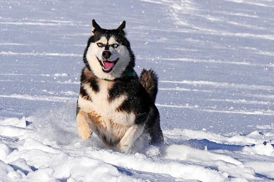 Ganz in seinem Element: Dieser Husky tobte vor Kurzem im Schnee von Geiersnest oberhalb von St. Ulrich. (Foto: Annemarie Krebs)
