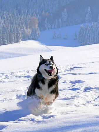 Ganz in seinem Element: Dieser Husky tobte vor Kurzem im Schnee von Geiersnest oberhalb von St. Ulrich.