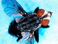 Verletzen sich Fliegen, wenn sie gegen Fenster prallen?