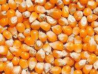 Wie entsteht aus Mais Popcorn?
