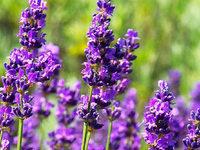 Hilft Lavendel wirklich gegen Motten?