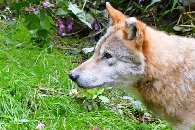Experte rät zu Gelassenheit gegenüber dem Wolf