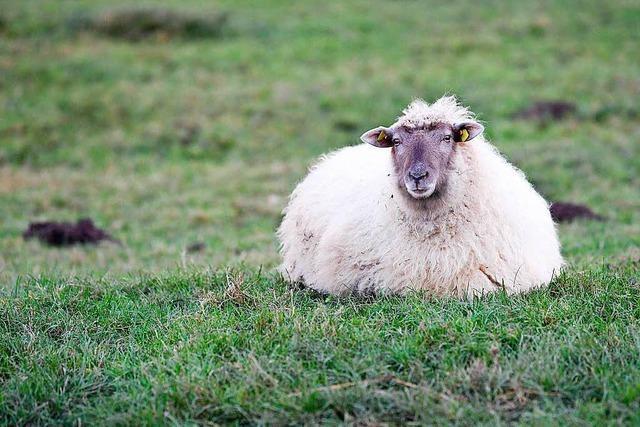 Wie drei scheinbar tote Schafe wiederauferstehen konnten