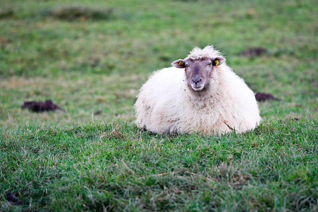 Kandern Schafe wieder in die Bauchlage gebracht