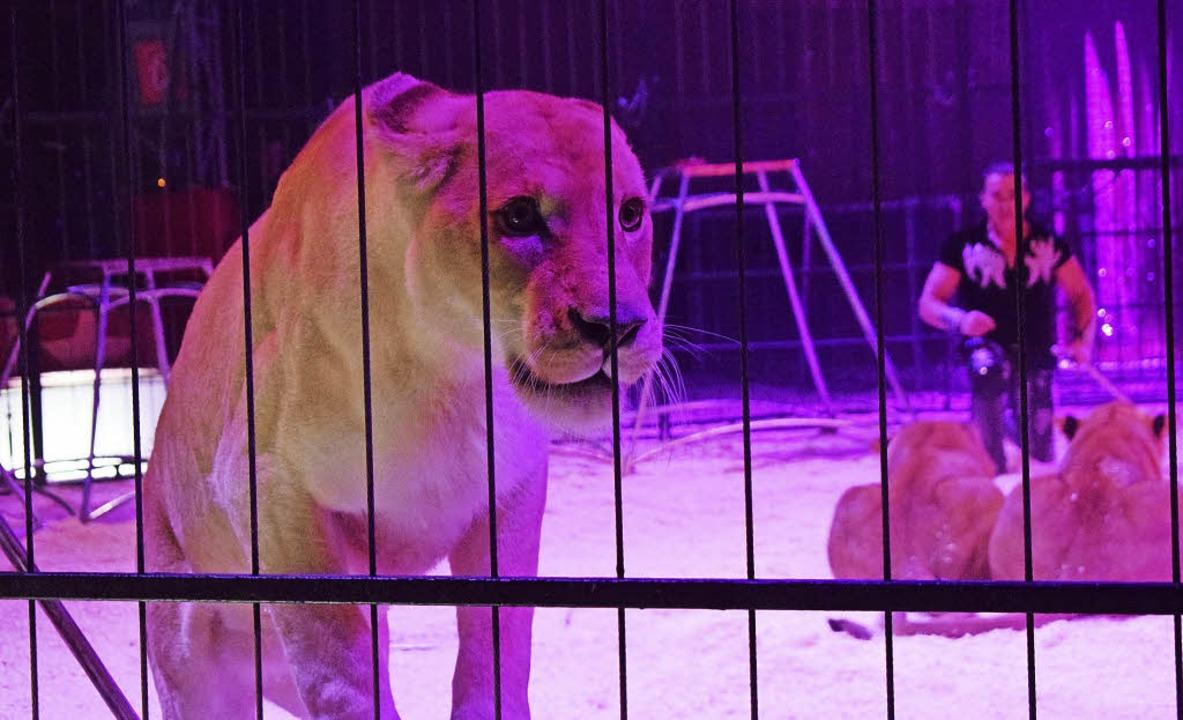 Bruno Raffo und seine acht jungen Löwinnen   | Foto: Julia trauden