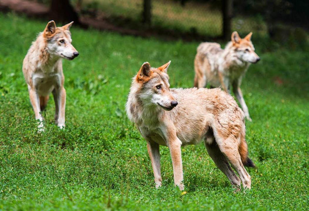 Im Südwesten könnten sich in absehbarer Zeit Wolfsrudel bilden.  | Foto: dpa