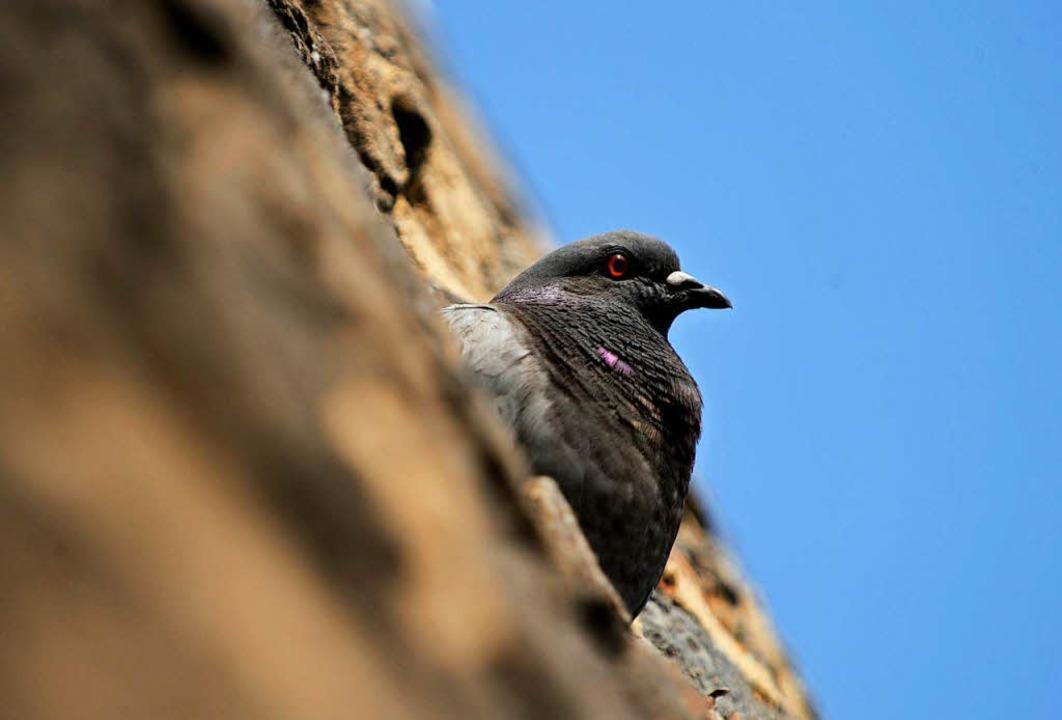 Die Zuneigung von Menschen zu Tauben i...önnen nämlich Gebäude Schaden nehmen.   | Foto: Uwe Zucchi (dpa)
