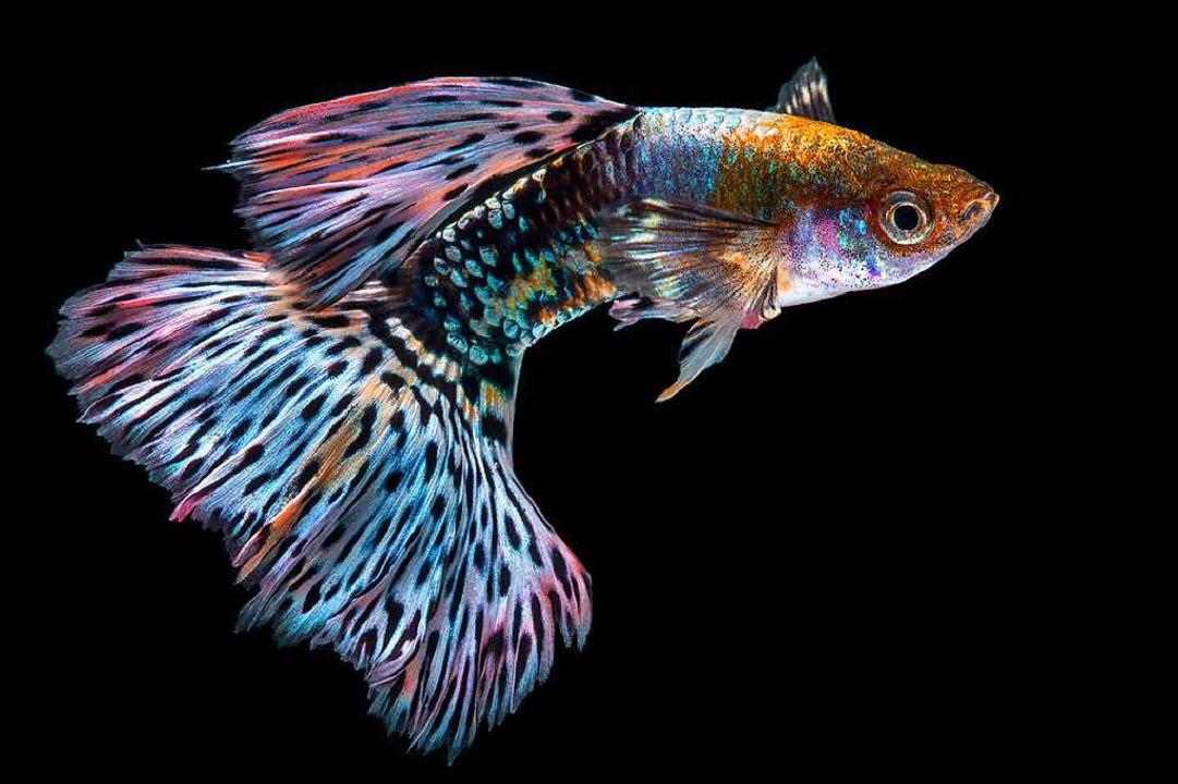 Satt wird man von einem Guppy jedenfalls nicht. (Symbolbild)  | Foto: nokkaew /  adobe.com