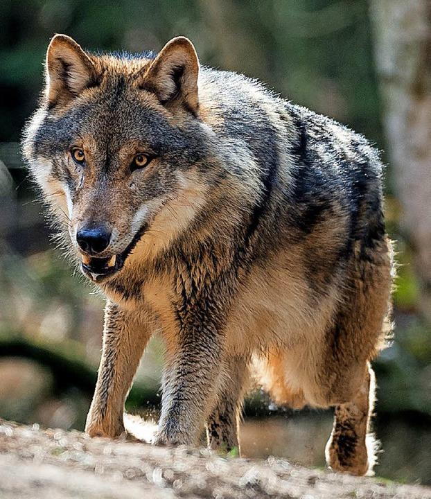 Wolf (im Gehege)   | Foto: dpa