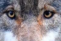 2017 kehrte der Wolf in den Südwesten zurück