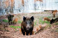 Schutz vor Schweinepest: Jäger sollen mehr Wildschweine schießen