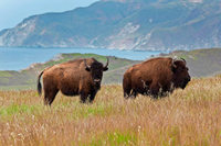 Berühmt wie Filmstars: Die Insel-Bisons von Catalina Island