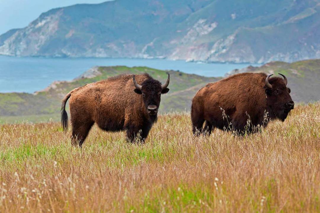 Bisons auf Catalina Island   | Foto: dpa