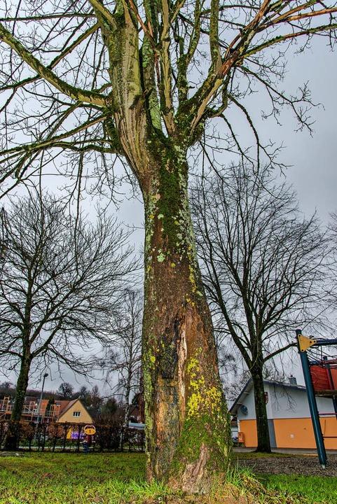 Wegen einer Faulstelle am Stamm muss e...tz in Ettenheimweiler  gefällt werden.  | Foto: Olaf Michel