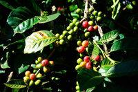 Warum die Kaffeebauern in Honduras kaum von der Rekordernte profitieren