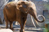 Die älteste Elefantin des Basler Zoos ist tot