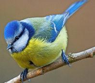 Wieder mehr Wintervögel in den Gärten