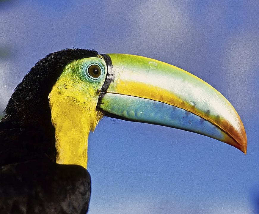 Bunte Tierwelt: In den Baumwipfeln Panamas ist der Tucan zu Hause.   | Foto: Panamatourismus