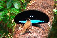Paradiesvogel sind nicht nur sehr bunt – sondern auch besonders schwarz