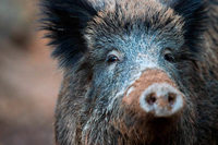 Bauernverband fordert Abschuss von 70 Prozent der Wildschweine