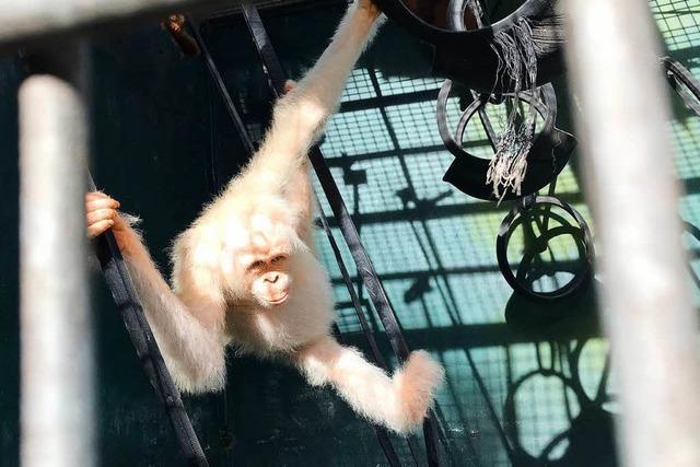 Albino Affendame Alba darf wieder in die Freiheit
