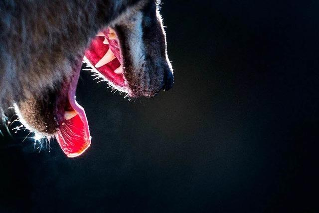 Wolf bei Stuttgart gefilmt - was will das Tier in der Stadt?