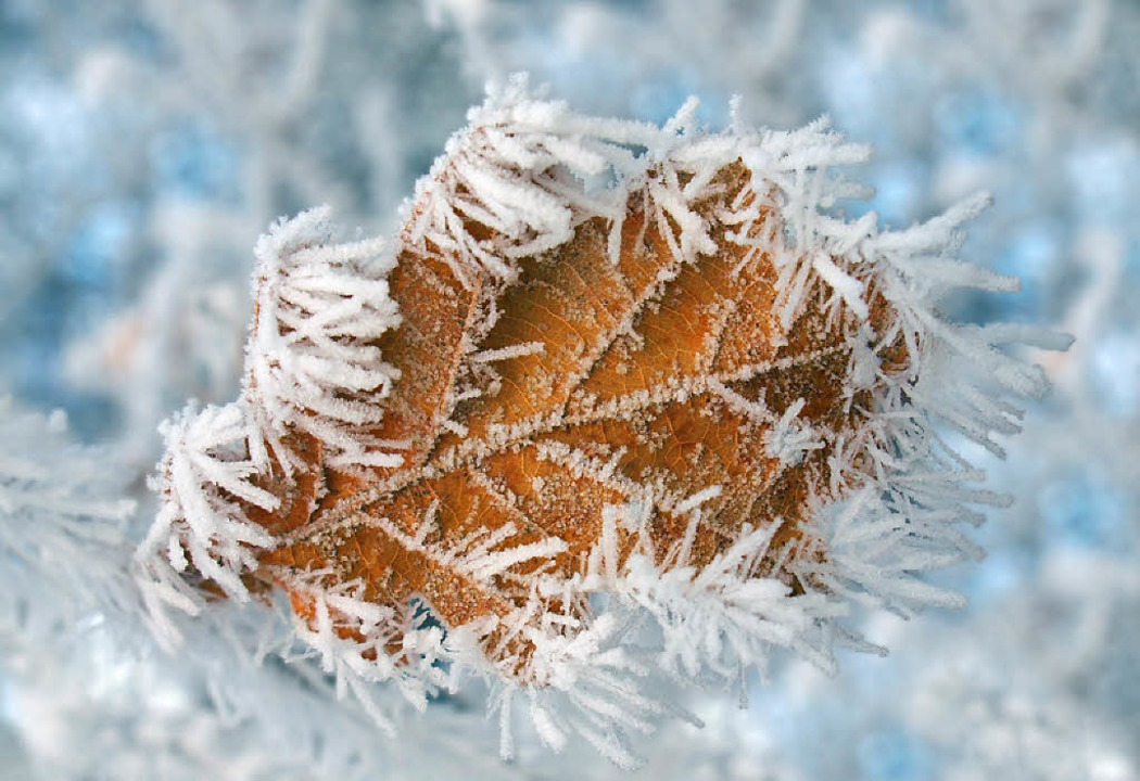 Winterfrost an Laubblatt    Foto: -