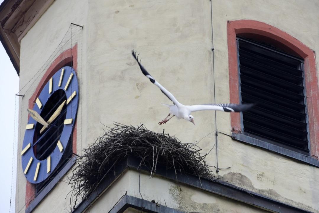 Das Tiengener Storchennest befindet sich auf dem Kirchturm.  | Foto: Thomas Kunz