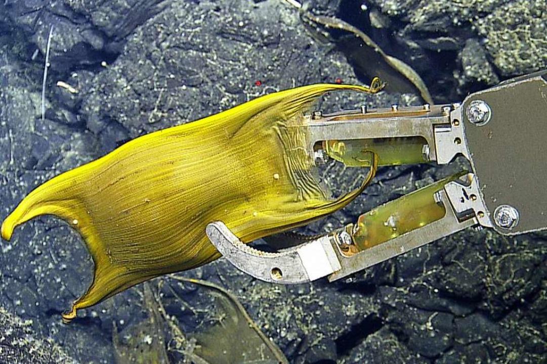 In diesem gelben Etwas steckt das Ei eines Galápagos-Rochen.   | Foto: dpa