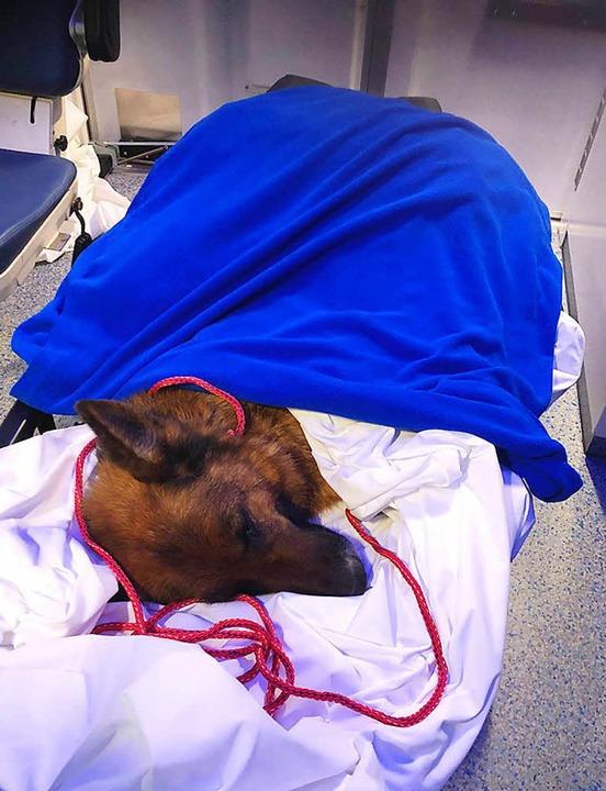 Die achtjährige verletzte Schäferhündi... nach ihrer Rettung an einer Autobahn.  | Foto: dpa