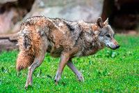Erschossener Schluchsee-Wolf: Nabu fordert Soko für Umweltkriminalität