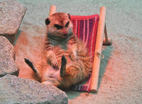 Erdmännchen im Liegestuhl - Karlsruher Kult-Zootier ist gestorben