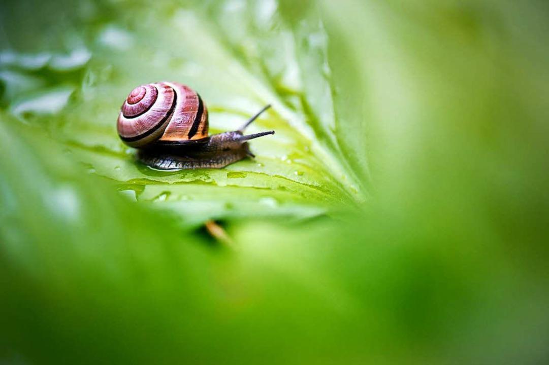 Eine Schnecke (Gastropoda) kriecht über ein nasses Blatt in einem Garten    Foto: dpa