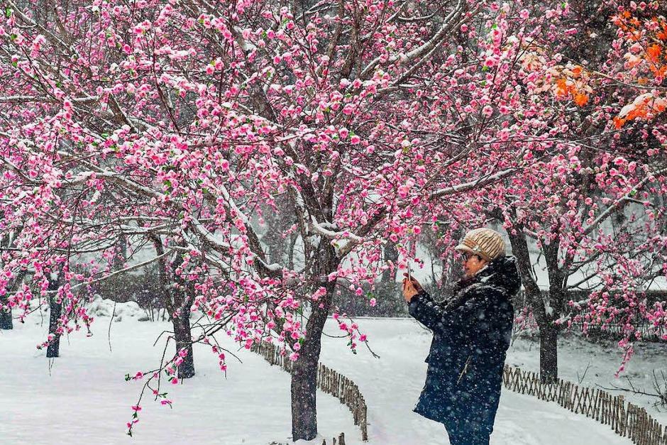 Verschneite Pflaumenblüten in China (Foto: dpa)