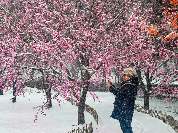 Verschneite Pflaumenblüten in China