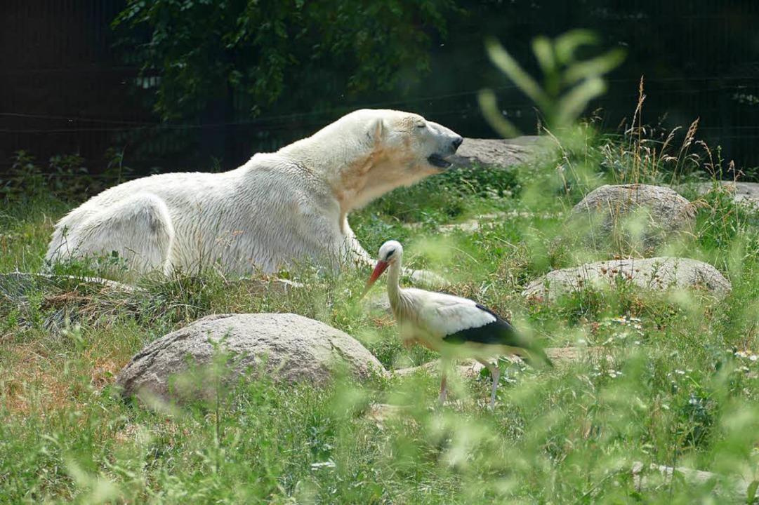 Zoo Mulhouse: Fauler Eisbär auf der Wiese  | Foto: Silke Kohlmann